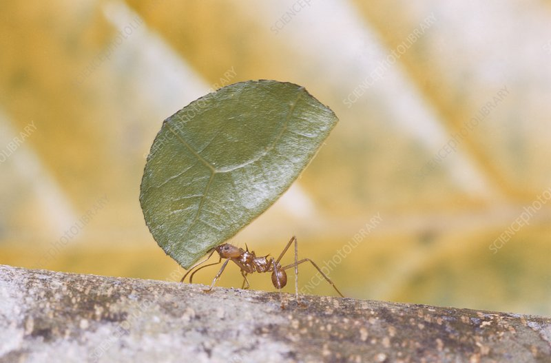Leaf Cutter Ant worker