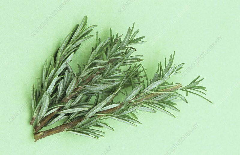 Rosemary, a fragrant culinary herb.