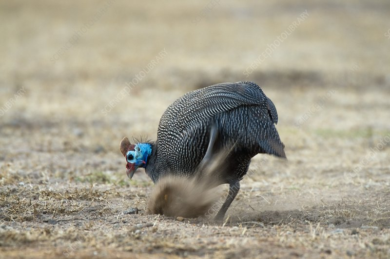 Helmeted guineafowl scratching in dirt