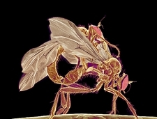 Insects mating, SEM