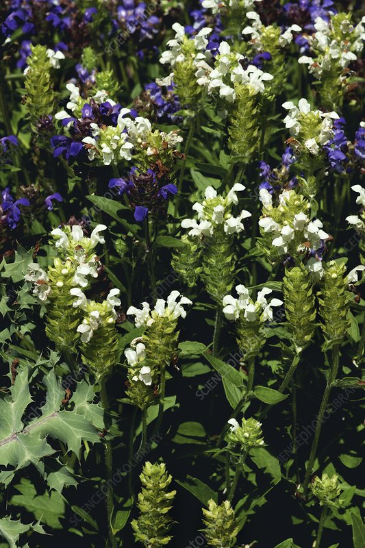 Large Self-heal (Prunella grandiflora)