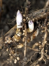 Shoots and nitrogen-fixing nodules