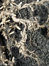 Roots and nitrogen-fixing nodules