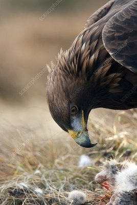 Golden eagle feeding