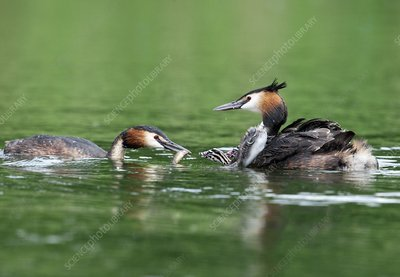 Great crested grebes feeding their chicks