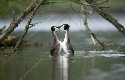Great crested grebe mating display