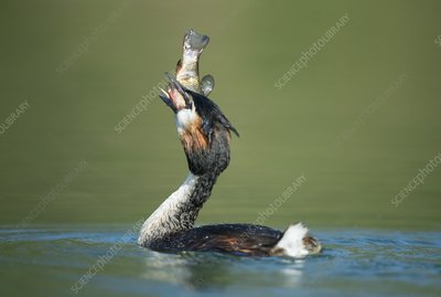 Great crested grebe swallowing a fish