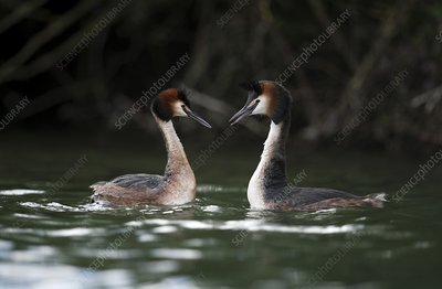 Great crested grebe greeting display