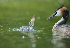 Great crested grebe chick with a crayfish