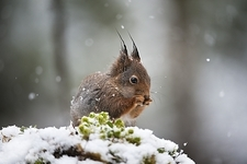 Eurasian red squirrel feeding