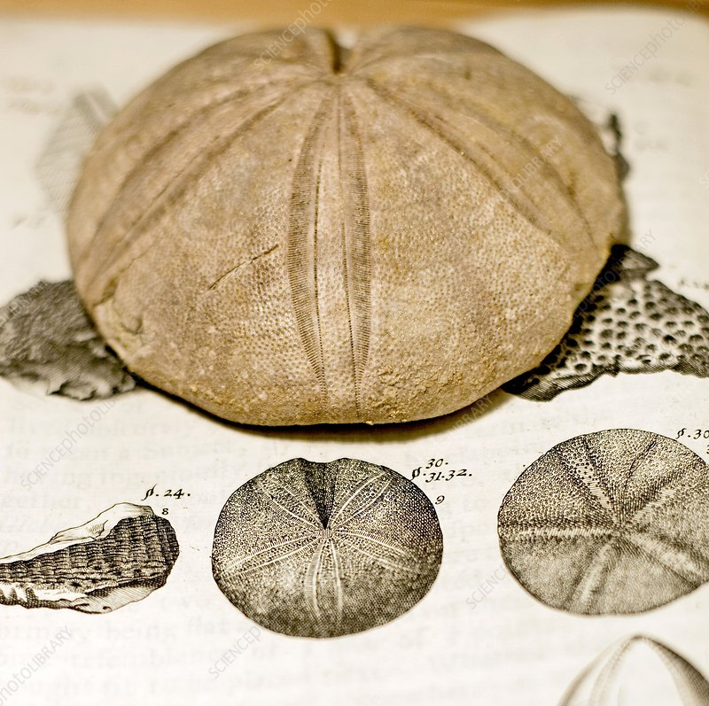1697 Fossil sea urchin Clypheus from Plot