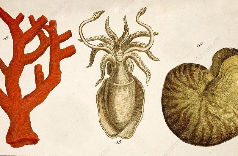 1750 coral squid & nautilus colour print