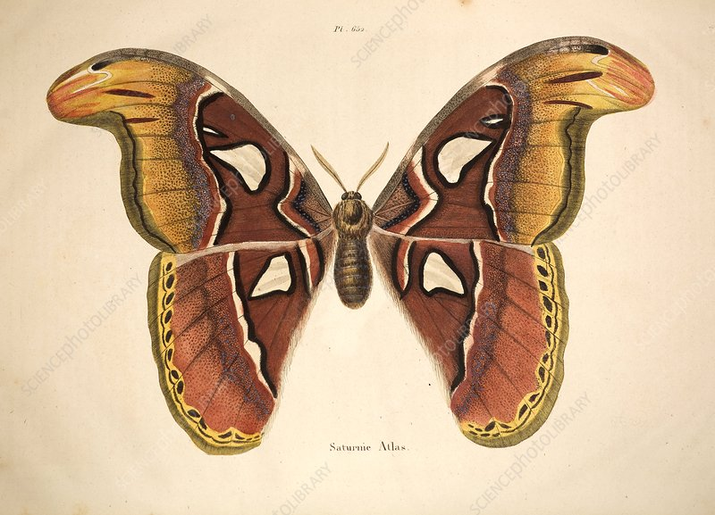 1797 Atlas Moth Illustration Stock Image C008 8058