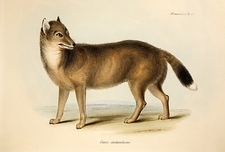 1839 Darwin's Falkland Island Fox Extinct