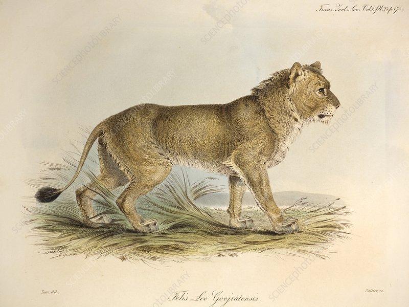 1835 Maneless Indian Lion by Edward Lear