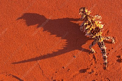 Desert adapted Thorny Devil Australia