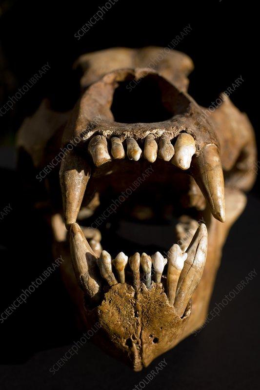 Ural Cave bear skull Ursus uralensis