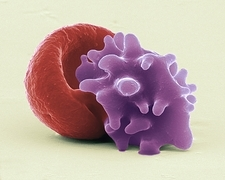 Red blood cells, SEM