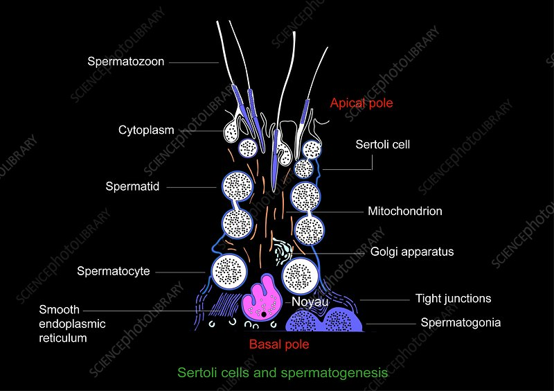 Spermatogenesis+diagram