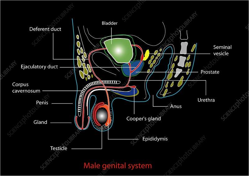 Male gu anatomy