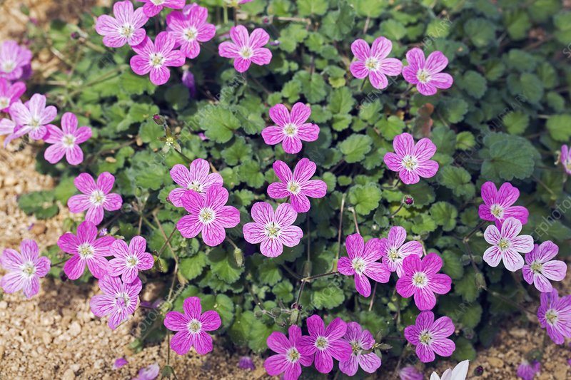 C0088959 Erodium_x_variabile_Bishop_s_Form_ SPL