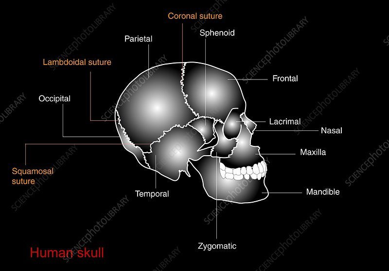 Human skull anatomy, diagram