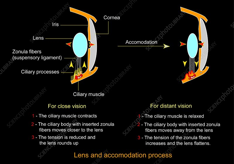 Eye lens and accommodation diagram stock image c0090271 eye lens and accommodation diagram ccuart Gallery