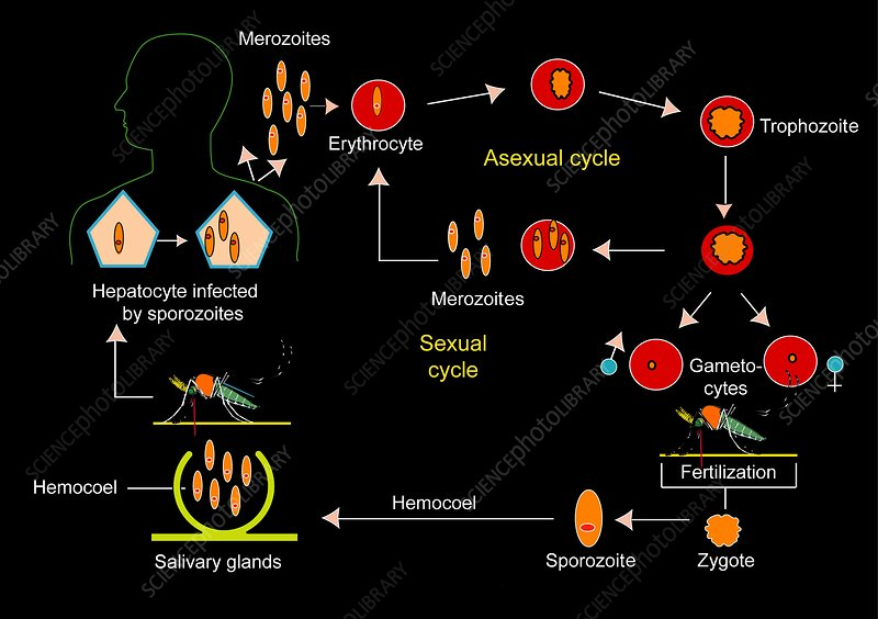 Plasmodium parasite cycle, diagram
