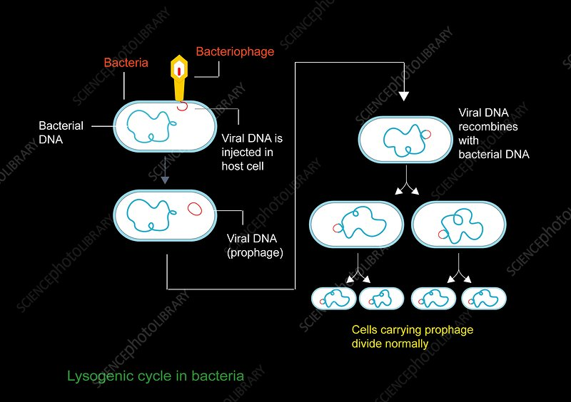 Lysogenic viral cycle, diagram