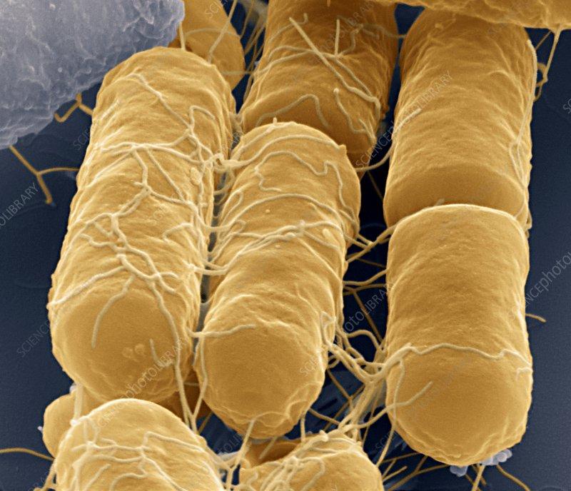 Bacillus cereus bacteria sem