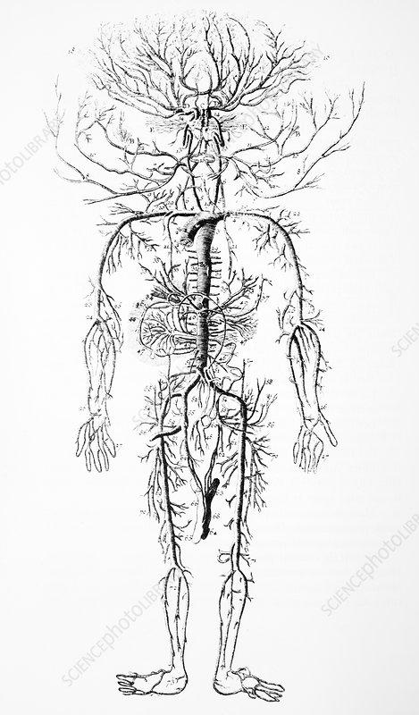 мясопотамия кровеносная система человека картинки карандашом свеча