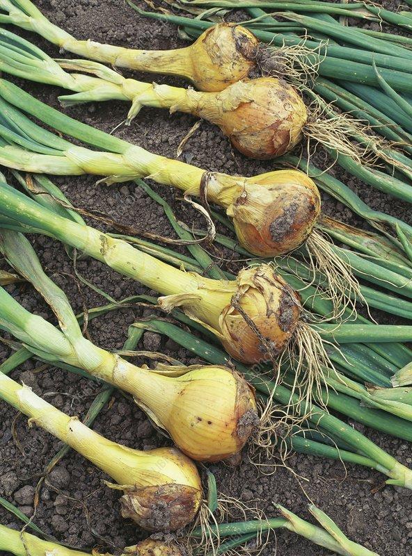 Allium Cepa Sturon, Onion Sturon - uploaded by @nobby