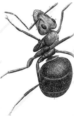 Ant, 17th Century artwork