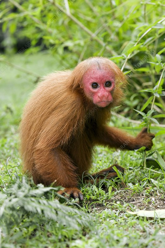 Red bald uakari