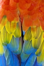Scarlet macaw plumage