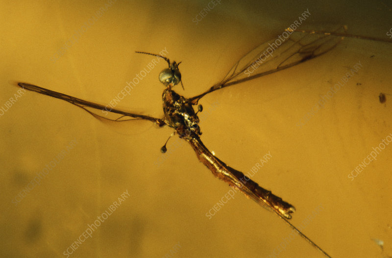 Crane Fly in Amber