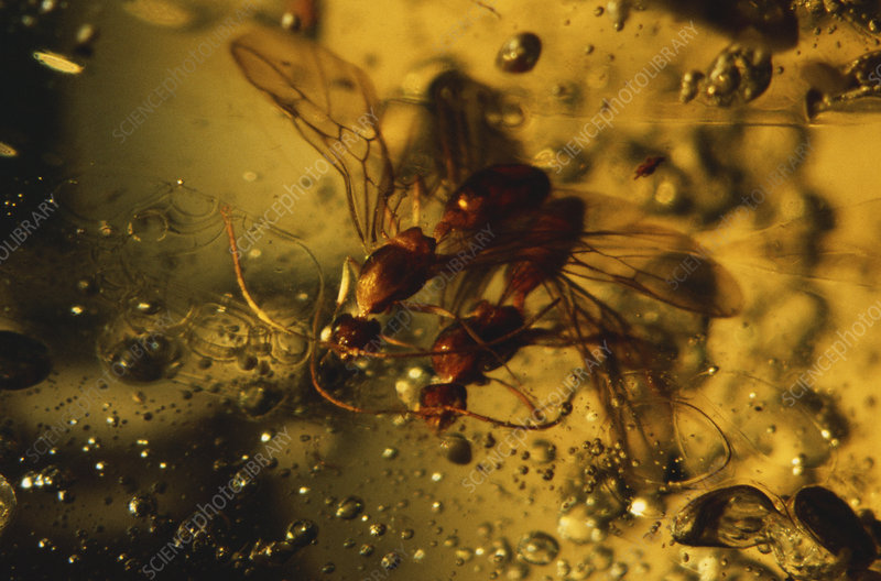Wasps in Amber