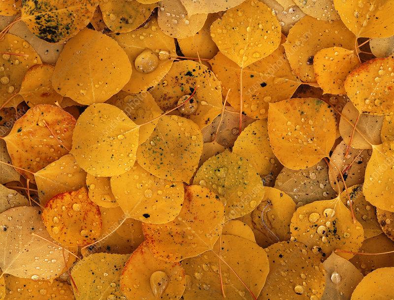 Aspen leaf pattern