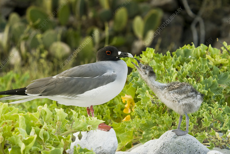 Swallow-tailed gull chick and adult