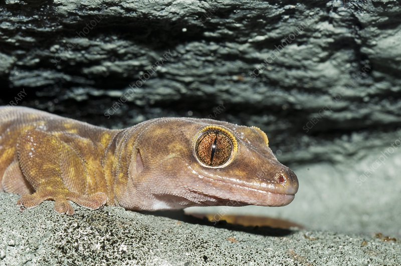 Giant cave gecko