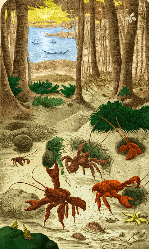 Robber Crab, What Darwin Saw, 1879