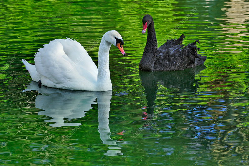 Mute Swan and Australian Black Swan