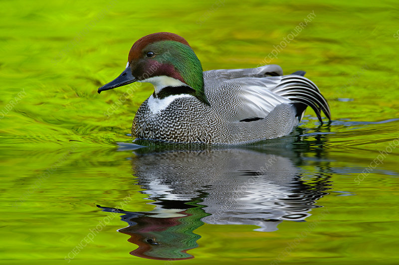Male Falcated Duck