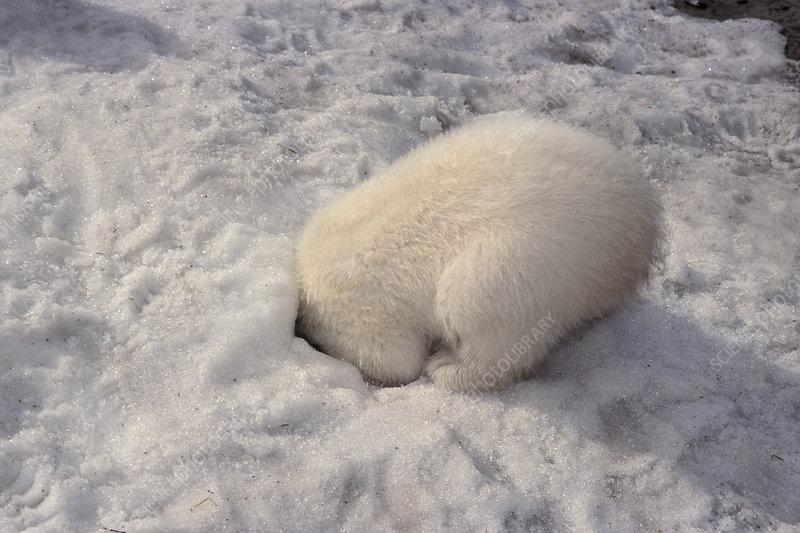 Baby Polar Bear Hiding