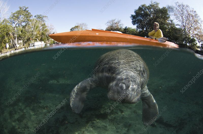 Manatee and Kayaker