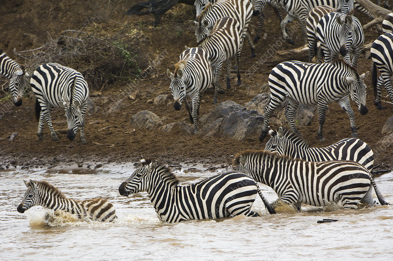 Zebras Crossing Mara River, Kenya