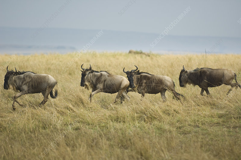 Wildebeests Running in the Maasai Mara