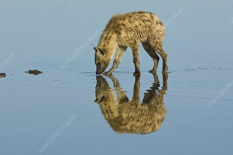 Spotted Hyaena in Lake Nakuru, Kenya