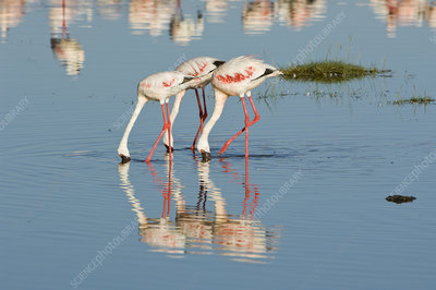 Greater Flamingos in Lake Nakuru