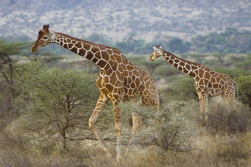 Reticulated Giraffe Scavenging for Food